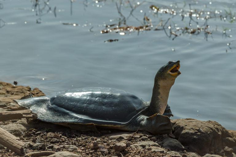 Leder-Schildkröte, Indien, Fotoreise Bengaltiger