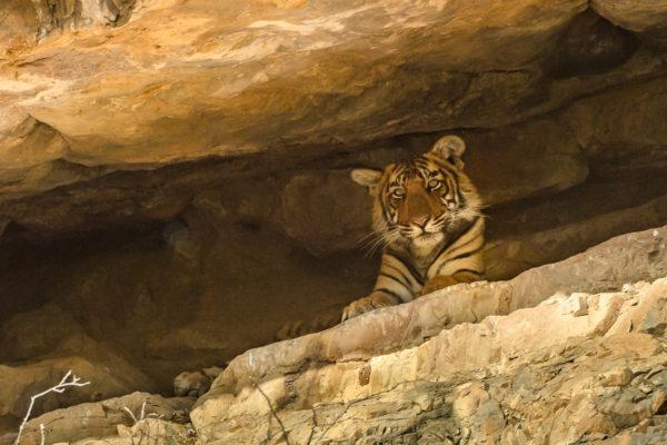 Fotoreise Bengaltiger, Indien, Junges Tigerbaby