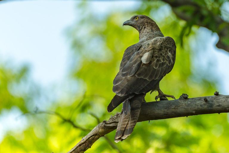 Adler, Indien