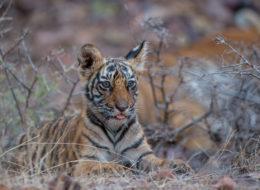 Fotoreise, Bengaltiger, Indien