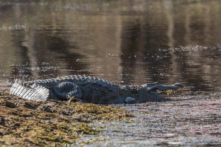 Krokodil, Indien