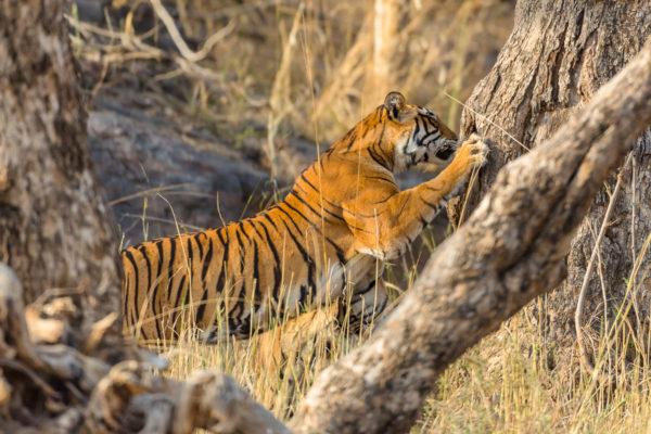 Bengaltiger Fotoreise, Indien, Kratzbaum