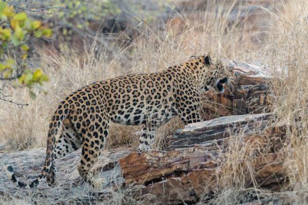 Fotoreise Bengaltiger, Leopard, Indien,