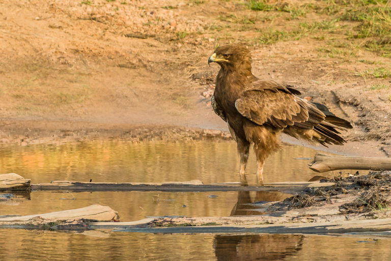 Golden Eagle, Adler, Indien