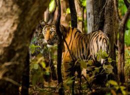 Fotoreise Bengaltiger, Indien