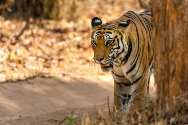 Fotoreise Bengaltiger, Indien, Tigermännchen