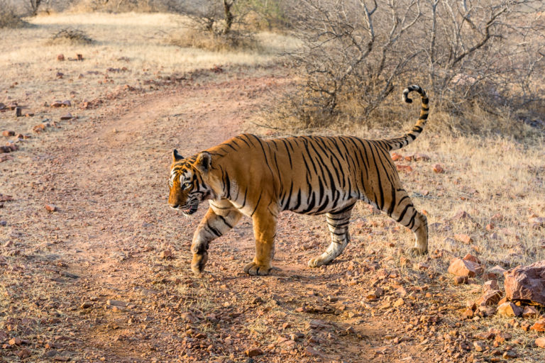 Bengaltiger, Indien