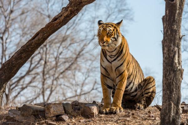 Tiger, Fotoreise Bengaltiger, Indien, Tiger