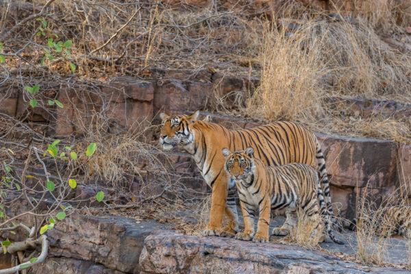 Fotoreise Bengaltiger, Indien, Tigermamma