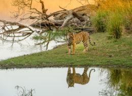 Bengaltiger Arrowhead in Indien auf Fotoreise