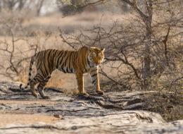Bengaltiger, Tigerweibchen unterwegs auf Fotoreise