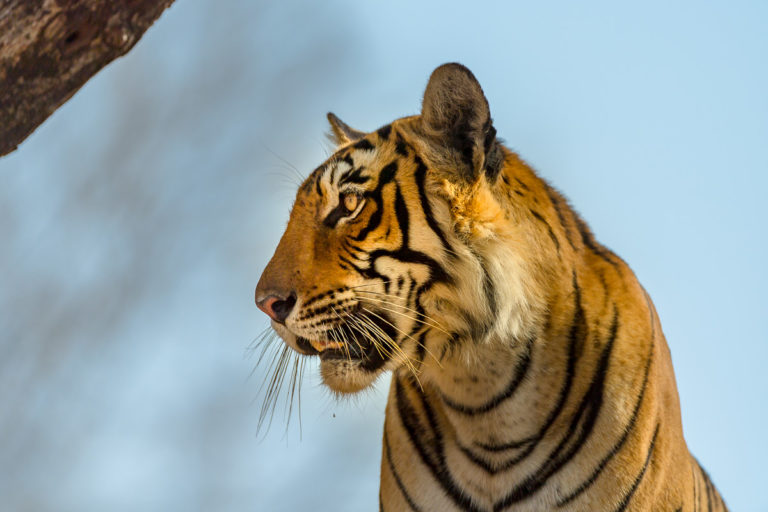 Bengaltiger, Indien, Tigersafari