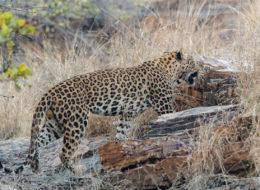 Leopard Indien, Fotoreise