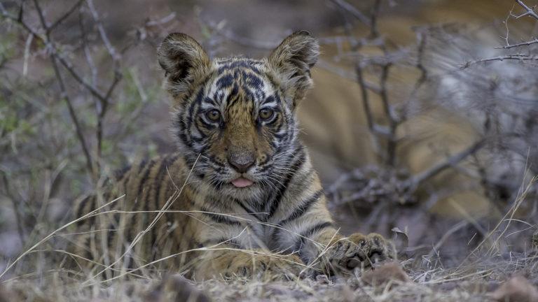 tigerbaby , Indien