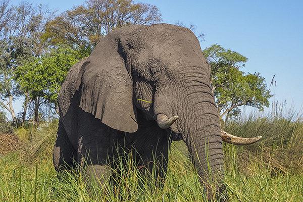Afrikanischer Elefant, Fotoreise Uganda