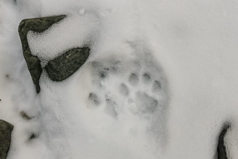 Schneeleopard, Pfotenabdruck, Ladakh