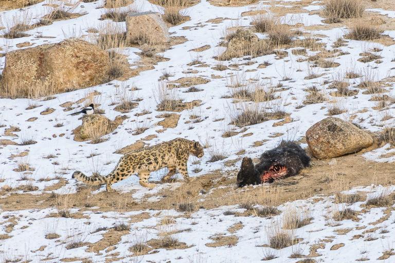 Schneeleopard mit Yak und Fuchs, Ullay, Ladakh
