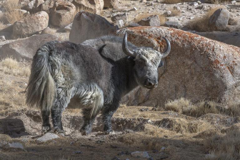 Yak Ullay Ladakh