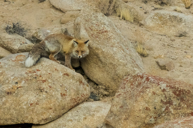 Tibetischer Fuchs, Ladakh