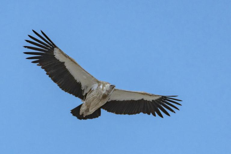 Himalayan Griffin, Schneegeier