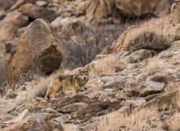 Tibetischer Wolf Ladakh