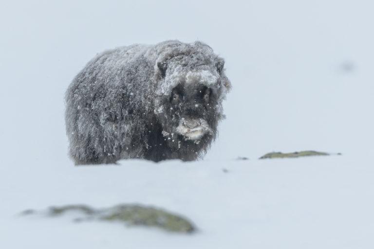 Moschusochsen-Baby im Schneesturm im kalten Winter