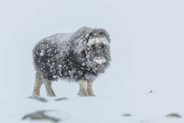 Moschusochsen Baby im harten Winter