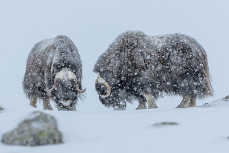 Moschusochsen suchen Futter im Schneesturm im Winter