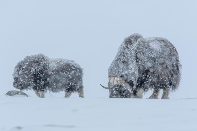 Moschusochsen im tiefen Winter, Fotoreise