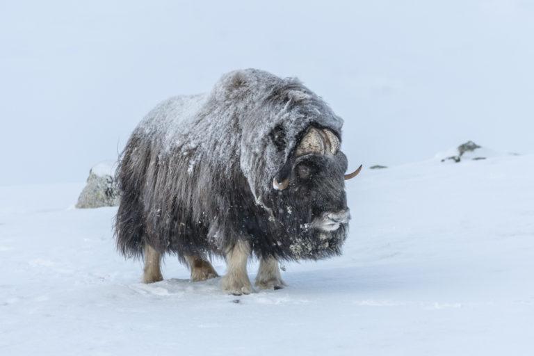 Fotoreise zu den Moschusochsen im tief verschneiten Winter