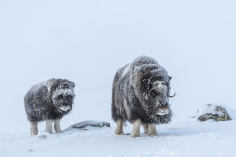 Harte Bedingungen bei den Moschusochsen