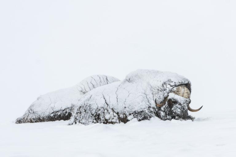 Tief eingeschneite Moschusochsenauf der Fotoreise im Winter