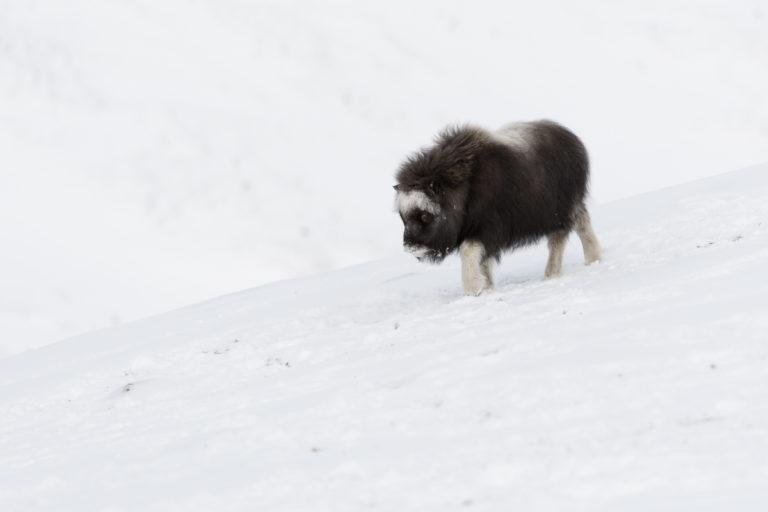 Moschusochsen Baby im Schnee