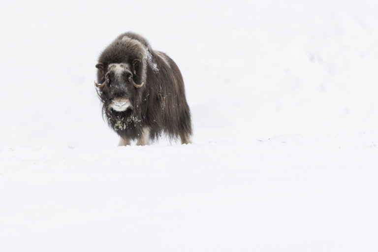 Moschusochsen im Dovrefjell im Winter