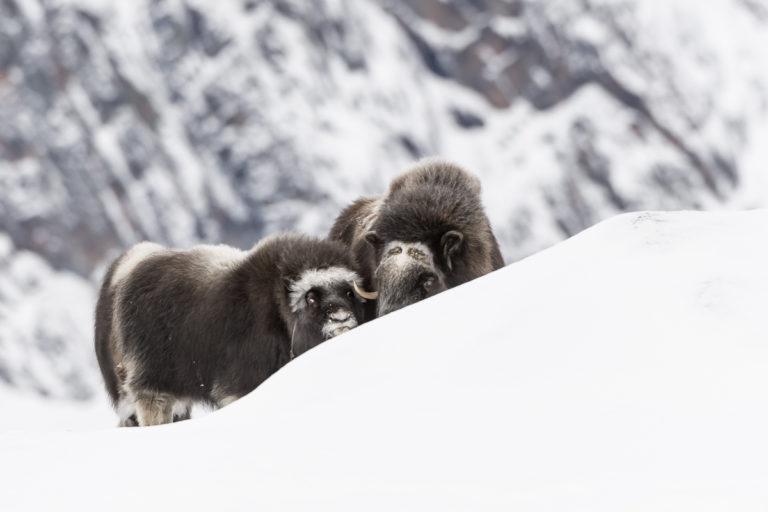 Moschusochsen beim Schutz suchen hinter einer Schneeverwehung