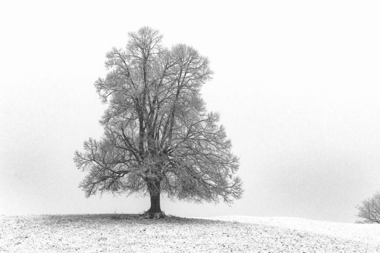 Verschneiter Baum, Hirzel-Drumlins im Winter