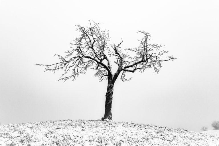 Alter Baum bei den Hirzel Drumlins