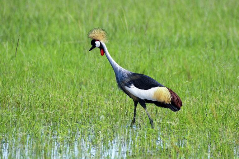 Kronenkranich, auf der Uganda-Fotoreise
