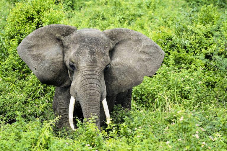 Fotosafari, Afrikanischer Elefant, mit schönen Stosszähnen