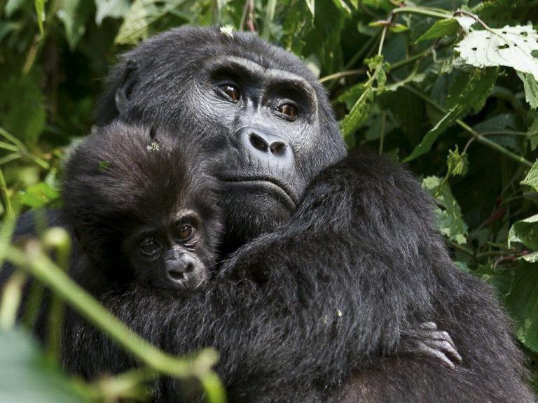 Fotoreise, Berggorilla mit Baby, im Uganda Bwindi impenetrable Forest