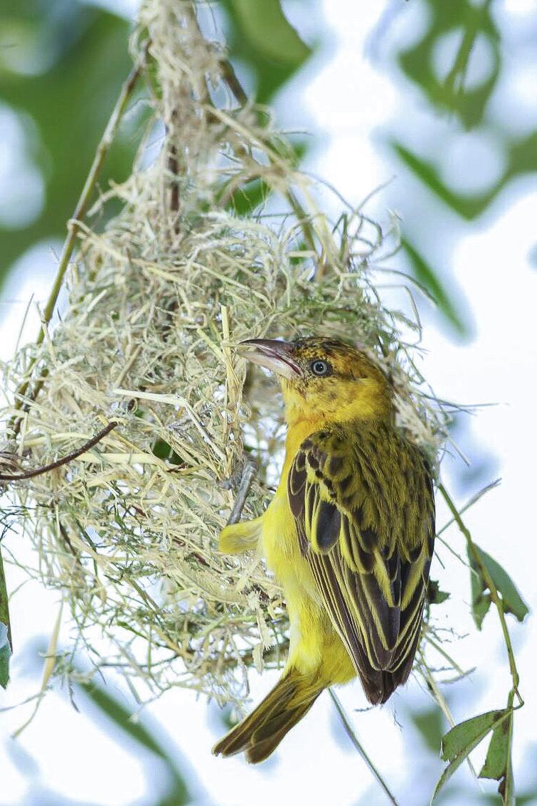 Webervogel beim Nestbau, Fotoreise nach Uganda
