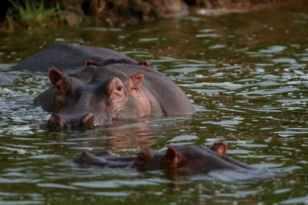 Hippopotamus Flusspferd, Fotoreise Uganda, Afrika