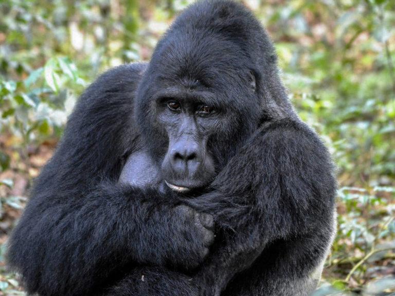 Berggorilla-Fotoreise in Uganda, Bwindi impenetrable Forest