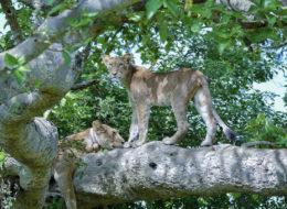 Fotoreise Uganda, Baumlöwen, Siesta