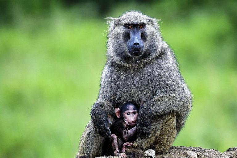 Pavian mit Baby, Fotoreise in Uganda mit photofascination.ch