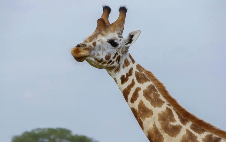 Fotosafari Uganda Netzgiraffe Afrika