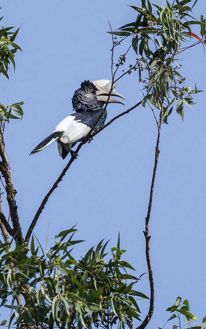 Grauwangen Hornvogel, in Uganda Afrika