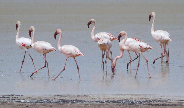 Rosaflamingos am Lake Mburo, Uganda Fotoreise