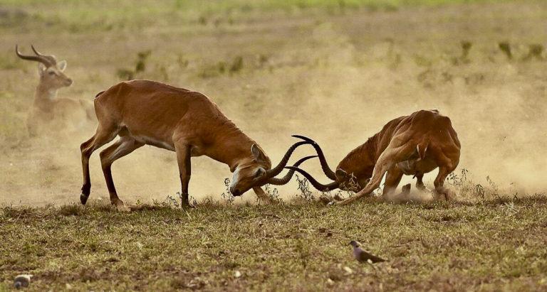 Fotosafari, Grasantilope, Uganda Kob, Uganda, Afrika