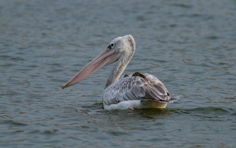 Pelikan, Lake Bunyoni, Uganda Fotoreise